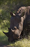 View Rhino and more Big Game at Tala Private Game Reserve 